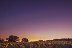 Sunflower horizon (T.Miravalles) Tags: sunflower girasol eguzkilore horizonte paisaje paisaia landscapes atardecer arratsaldea iluntzea canon7d canon1585 gumiel burgos castillayleon