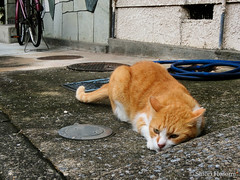 (Shiori Hosomi) Tags: 2016 august japan tokyo 23  cats mammalia       carnivora felidae   felis