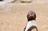 Humboldt Penguin Frontal