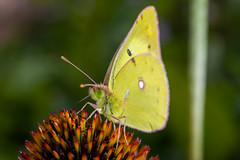 an eastern pale clouded yellow butterfly, Colias erate, on a Echinacea flower (Yunhyok Choi) Tags: echinacea pentax pentaxk3 antenna butterfly closeup compoundeyes green insect nature nectar pistil stamen wing yellow seoul southkorea kr
