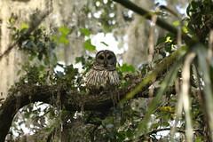 Barred Owl (robertemond) Tags: barred owl wakahoota trail