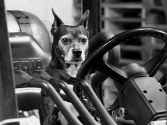 Mazie, at work. 5 (EOS) (Mega-Magpie) Tags: canon eos 60d indoor dog mutt pet puppy mazie dupage il illinois usa america black white bw monochrome
