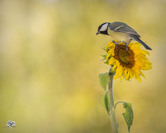 yellow couple (Geert Weggen) Tags: nature animal red perennial closeup cute plant funny happy summer ground bright light branch yellow bird tit titmouse fruit food sunflower flower sweden geert weggen jmtland ragunda