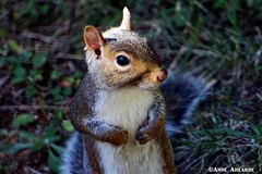 Hi there! (--Anne--) Tags: cute animal closeup squirrel squirrels gray easterngraysquirrel nature wildlife