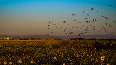 Peaceful Chaos (stuanderson7) Tags: outdoor nature landscape birds field flowers wildflowers sky clouds haze mountains sunrise peaceful chaos startled windfarm windturbines
