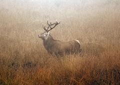 Out of the Mist (hapsnaps) Tags: hapsnaps derbyshire peakdistrict baslow curbar bigmoor 2016 autumn deer reddeer ruttingseason mist stag moorland naturethroughthelens