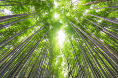 Surrounded By Large Bamboo Shoots (lestaylorphoto) Tags: japan kyoto bamboo shoots forest nature trees woods asia oriental travel green growth grove canopy