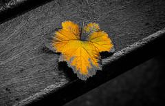 rough edges (gian_tg) Tags: edge macromondays partialcolor black fall bench leaf golden