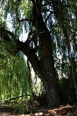 Neubrandenburgs Ruinen IMG_1283 (nb-hjwmpa) Tags: neubrandenburg baum baumstamm trees ihlenfelderstrasse mecklenburg