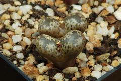 17 octobre 2016 - Conophytum pellucidum var. lilianum SB1175 (Mafate79) Tags: 2016 conophytumpellucidumvarlilianum conophytumpellucidumvlilianum conophytumpellucidum conophytum pellucidum lilianum sb1175 aizoaceae aizoaces aizoace mesemb mesembryanthemaceae mesembryanthemaces mesembryanthemace sectionpellucida plante