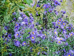 the glorious beauty of wild aster (Lana Pahl / Country Star Images) Tags: catchycolors colorsofflickr autumncolors autumnseason colorsoftheworld foreverautumn petalsandfrost purplepurplepurple seasonsintransition sonyphotographing sonyspectacular zeisszeiss digital