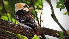 IMG_4203 IMG_4203 Down under's Kookaburra (Rodolfo Frino) Tags: animal bird birds wing wings outdoor tree trees branch branches leaf leaves birdphotography forest australia australianbird aussiebird beautifulbird