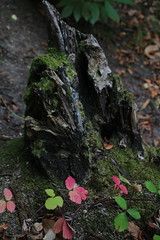Red leaf (jakoboberle) Tags: red rot leaf blatt wood holz blackforest schwarzwald germany deutschland german deutsch fall herbst september forest wald green grn landscape landschaft nature natur