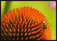 IMG_5845 Largest Pumpkin Prize Winner 7-3-16 (arkansas traveler) Tags: cucumberbeetle beetle bichos bugs insects flowers echinacea zoom telephoto nature naturewatcher bokeh bokehlicious natureartphotography