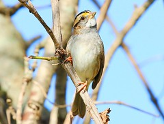 white-throated sparrow at Lake Meyer Park IA 854A6440 (lreis_naturalist) Tags: whitethroated sparrow lake meyer park winneshiek county iowa larry reis