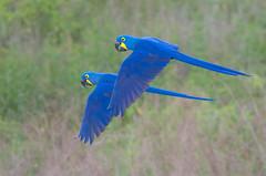 Hyacinth Macaws (Tim Melling) Tags: anodorhynchus hyacinthinus hyacinth macaw pantanal brazil timmelling