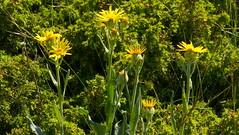 Sneon de Grard (a.laruelle) Tags: fleur jaune