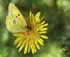 Luzerne butterfly (kunstschieter) Tags: butterfly vlinder luzerne number8 insect macro flower yellow