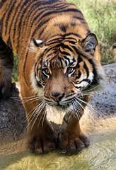 Do My Paws Look Big? (greekgal.esm) Tags: sumatrantiger tiger tigress bigcat cat feline animal mammal carnivore indah losangeleszoo lazoo losangeles griffithpark california sony a77m2 a77mii sal70300g