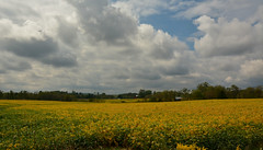 Fields of Gold (thoeflich) Tags: watertown soy soyfields sr676 marietta falllandscape