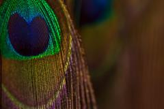 Feather (lara_1012) Tags: feather colourful