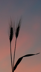 Against a pretty sky (judith511) Tags: grain birdseed wheat sky clouds sunset naturethroughthelens