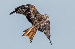 DSC6752  Red Kite.. (jefflack Wildlife&Nature) Tags: redkite kite kites birds avian wildlife wildbirds woodlands fields farmland moorland heathlands hills countryside raptors birdsofprey hawks nature