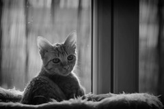 devant la fentre  (in front of the window) (l'imagerie potique) Tags: limageriepotique poeticimagery peluche chaton kitten silverefex love