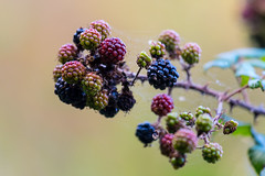 Winter Blackberries (Natural Photography by CJH) Tags: blackberry berry bokeh macro fruit