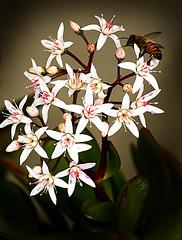 Impollinazione (gianclaudio.curia) Tags: fiori ape colore nikon d5200 tamron70300