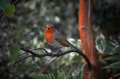 2016-10-19_10-16-37 (Innerleithen man) Tags: robin winter nikon nikond5100 feathers redbreast snapseed hdr scottishborders scotland