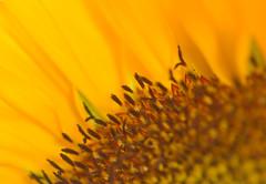Fringe (~DGH~) Tags: ~dgh~ pentaxk50 sunflower fringe fall autumn september 2016 edmonton alberta canada macro smcpentaxdfamacro100mmf28wr