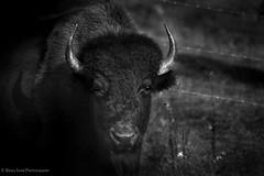 Bold and Beautiful (rishaisomphotography) Tags: buffalo alaska deepnorth wild wildlife wildlifephotography nature naturephotographer ferrel portrait shadows contrasts bison mammal northamerica