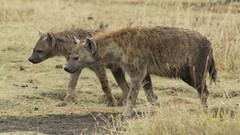 _MG_1633 (esevelez) Tags: tanzania africa serengueti serengeti animales animal animals parque nacional national park nature naturaleza hiena hyena