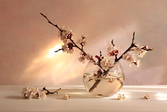 Express Yourself (panga_ua) Tags: light stilllife art water glass sunshine composition canon reflections spectacular lights spring artwork shadows shine artistic blossom geometry availablelight branches ukraine poetic explore creation refraction april imagination natalie arrangement tabletop springtime refractions bodegon naturemorte panga artisticphotography rivne naturamorta glassvase luminosity fractured artphotography sharpfocus expressyourself explored apricotblossom allxpressus  nataliepanga