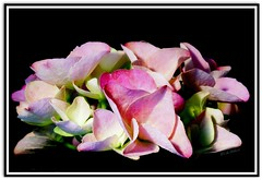 Multicoloured Hydrangea .. (Colink321) Tags: pink white flower macro green floral miniature spring sony bloom hydrangea multicolour potplant tabletopphotography perfectpetals unforgettableflowers