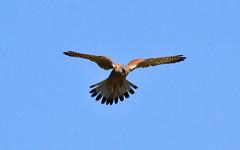 Turmfalke - Common Kestrel 01 (Stefan_68) Tags: bird animal germany deutschland pssaro falcon oiseau kestrel raubvogel birdofprey tier vogel pjaro uccello falke turmfalke oiseaudeproie