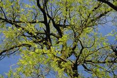 Trauerweide (Salix x pendulina), eine lustige Witwe; Messingen, Baccumer Wald HS8_4579 (Chironius) Tags: trees tree germany deutschland weide rboles sauce boom arbres willow rbol alemania grn weepingwillow albero bume allemagne arbre rvore baum trd germania gegenlicht wilg emsland salice weiden salix aa niedersachsen  saule  osier trauerweide st  salicaceae   rosids malpighiales   salcio messingen weidengewchse marsault malpighienartige  fabids lingenerhhe