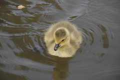 Baby Goose in the Trent and Mersey Canal Westport Lake (Matt Burke) Tags: lake canal goose gosling canadiangoose westport