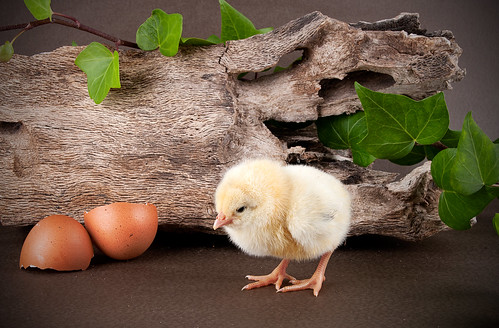 baby chick with egg shell
