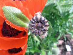 soma (mereshadow) Tags: soma papaver poppyflower medicinegarden