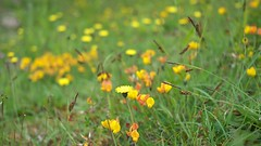 mouse-eared hawkweed & birdsfoot trefoil (David_W_1971) Tags: lumix panasonic g5 20mmf17 silkypix5
