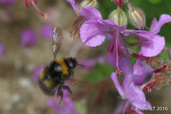 20160621-IMG_4619 Bumble Bee On Geranium Flower LC Inkberrow wrc.jpg (rodtuk) Tags: uk england plant flower nature insect places worcestershire lc b24 midlands inkberrow phototypes laurelcottage roderickt