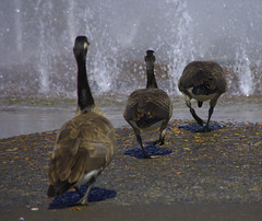 Three Geese In A Row (swong95765) Tags: canadagoose geese birds water fountain wet drink thirst thirsty follow