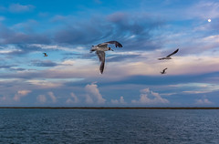 Gulls, gulf, moon, clouds. (mfetz1026) Tags: barrierisland moon intercoastalcanal gull clouds