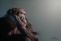 Portrait of a Chimp ( Ian Flanagan) Tags: chimp animal chimpanzee monkey zoo uk portait 70200mm light photography