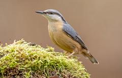 JWL0440  Nuthatch.. (jefflack Wildlife&Nature) Tags: nuthatch nuthatches birds avian wildlife wildbirds woodlands gardenbirds songbirds countryside farmland forest nature