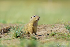 European ground squirrel (Jan Canck) Tags: nikon mammals spermophiluscitellus nature syselobecn europeangroundsquirrel nikon200500f56 zvata divokproda rodents wildlife familyofsquirrels hlodavci animals fauna d810 savci mladaboleslav centralbohemianregion czechrepublic cz