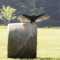 Vulture on Hay 8x8 (Vermont Lenses) Tags: turkey vulture vermont wildlife bird