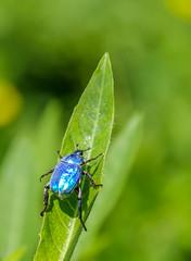 hoplie bleue (hoplia coerulea) (G.NioncelPhotographie) Tags: hoplie bleue hoplia coerulea protégée espèce insecte coléoptère proxy